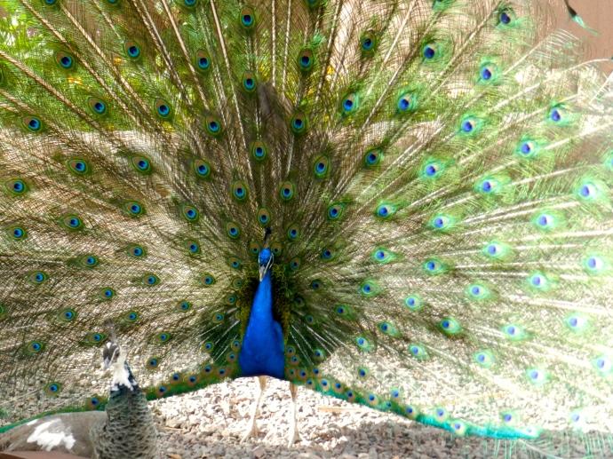 O pavão conquistador