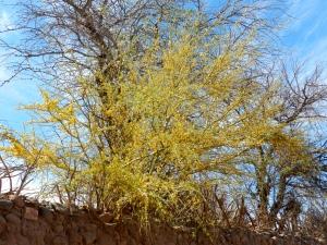 Árvore de Chañar